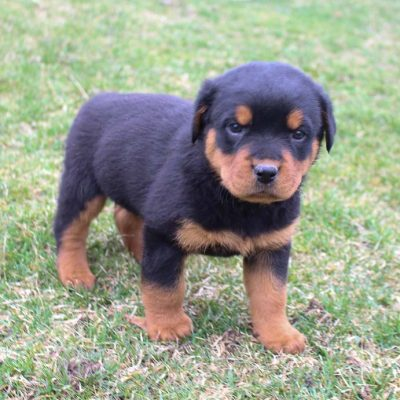 Ashton - AKC Rottweiler pupper for sale at New Haven, Indiana