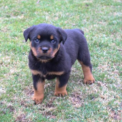 Ace - puppy AKC Rottweiler for sale in New Haven, Indiana
