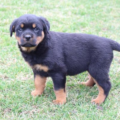Alana - AKC Rottweiler pup for sale at New Haven, Indiana