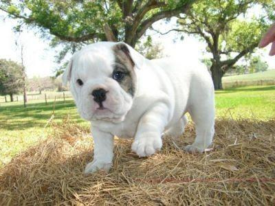 Emma - English Bulldog puppie for sale in Richmond, Virginia