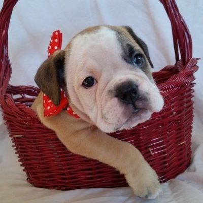 Emmi - female American Bulldog for sale near Richmond, Virginia