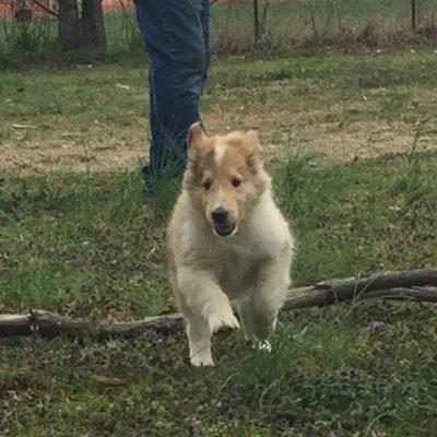 Flynn Rider - male puppy AKC Rough Collie for sale near Lonoke, Arkansas