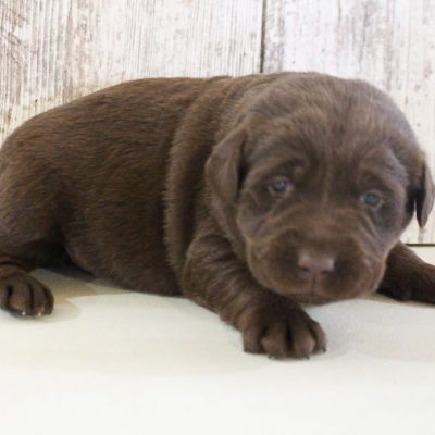 Hershey - AKC Labrador Retriever pupper for sale near Grabill, Indiana