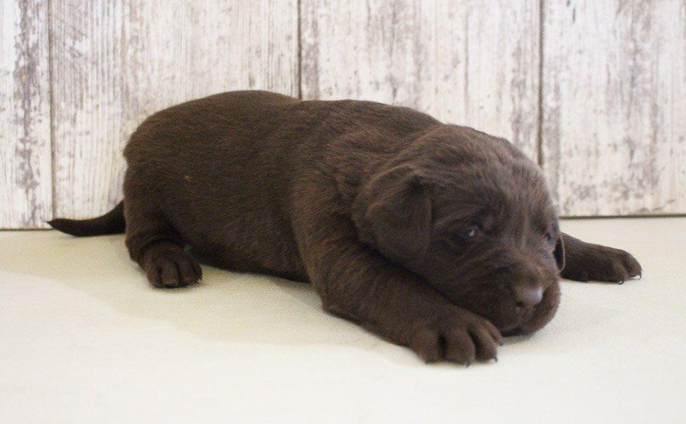 Ben - puppy AKC Labrador Retriever for sale near Grabill, Indiana