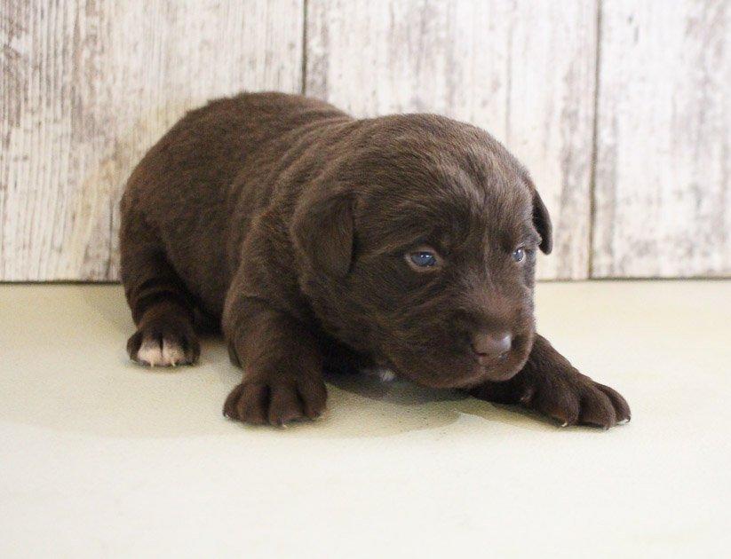 Zane - AKC Labrador Retriever male pup for sale in Grabill, Indiana