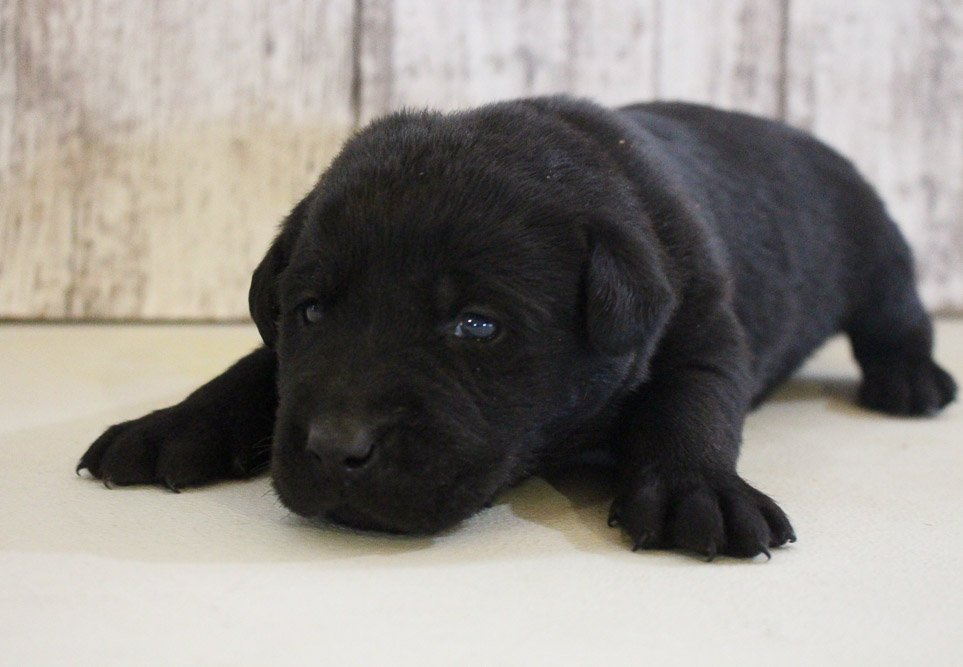 Chase - AKC Labrador Retriever doggie for sale at Grabill, Indiana