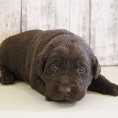 Zoey - puppy AKC Labrador Retriever for sale near Grabill, Indiana