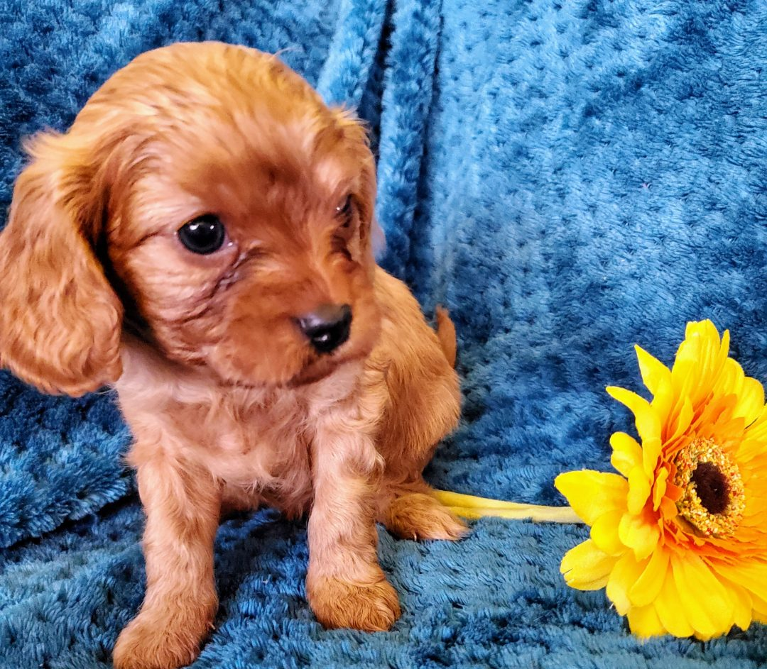 Mento - Cavapoo puppie for sale near Sunbury, Pennsylvania