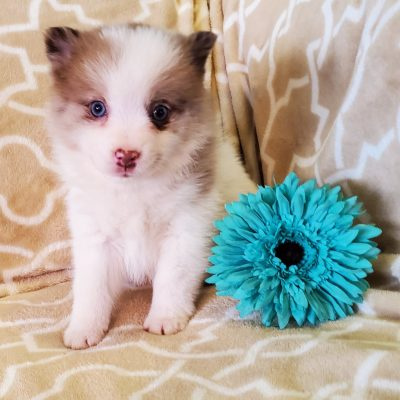 Cody - Pomsky pupper for sale at Sunbury, Pennsylvania