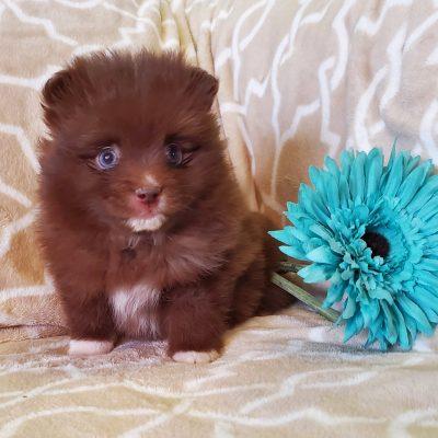 Cocoa - Pomsky puppy for sale in Sunbury, Pennsylvania
