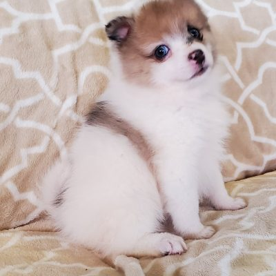Cooper - male Pomsky puppie for sale near Sunbury, Pennsylvania
