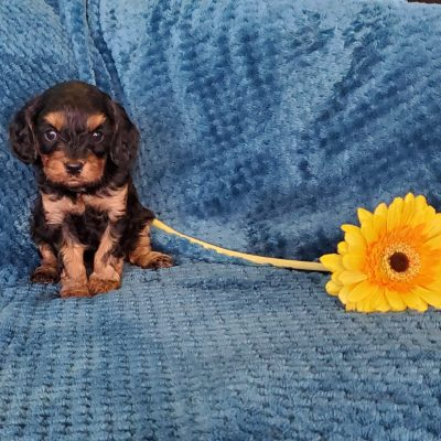 Maggie - female Cavapoo pup for sale in Sunbury, Pennsylvania