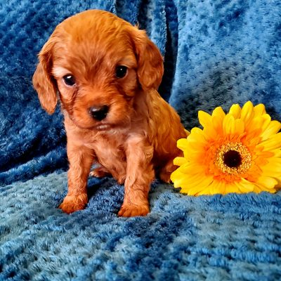 Max - Cavapoo puppy for sale at Sunbury, Pennsylvania