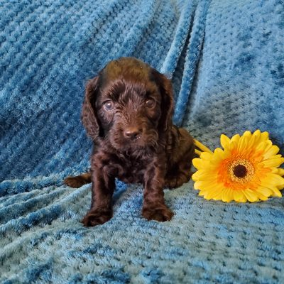 Minnie - doggie Cavapoo for sale in Sunbury, Pennsylvania