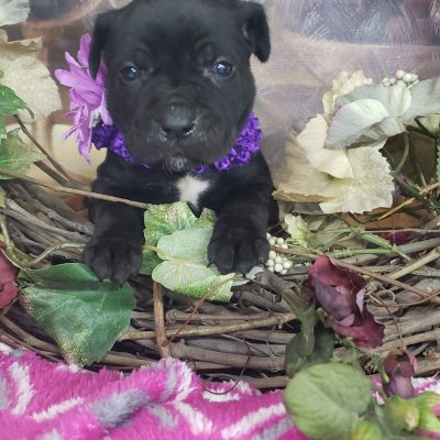 Riley - ICCF Cane Corso puppy for sale in Grabill, Indiana
