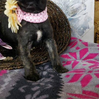 Bailey - ICCF Cane Corso puppie for sale at Grabill, Indiana