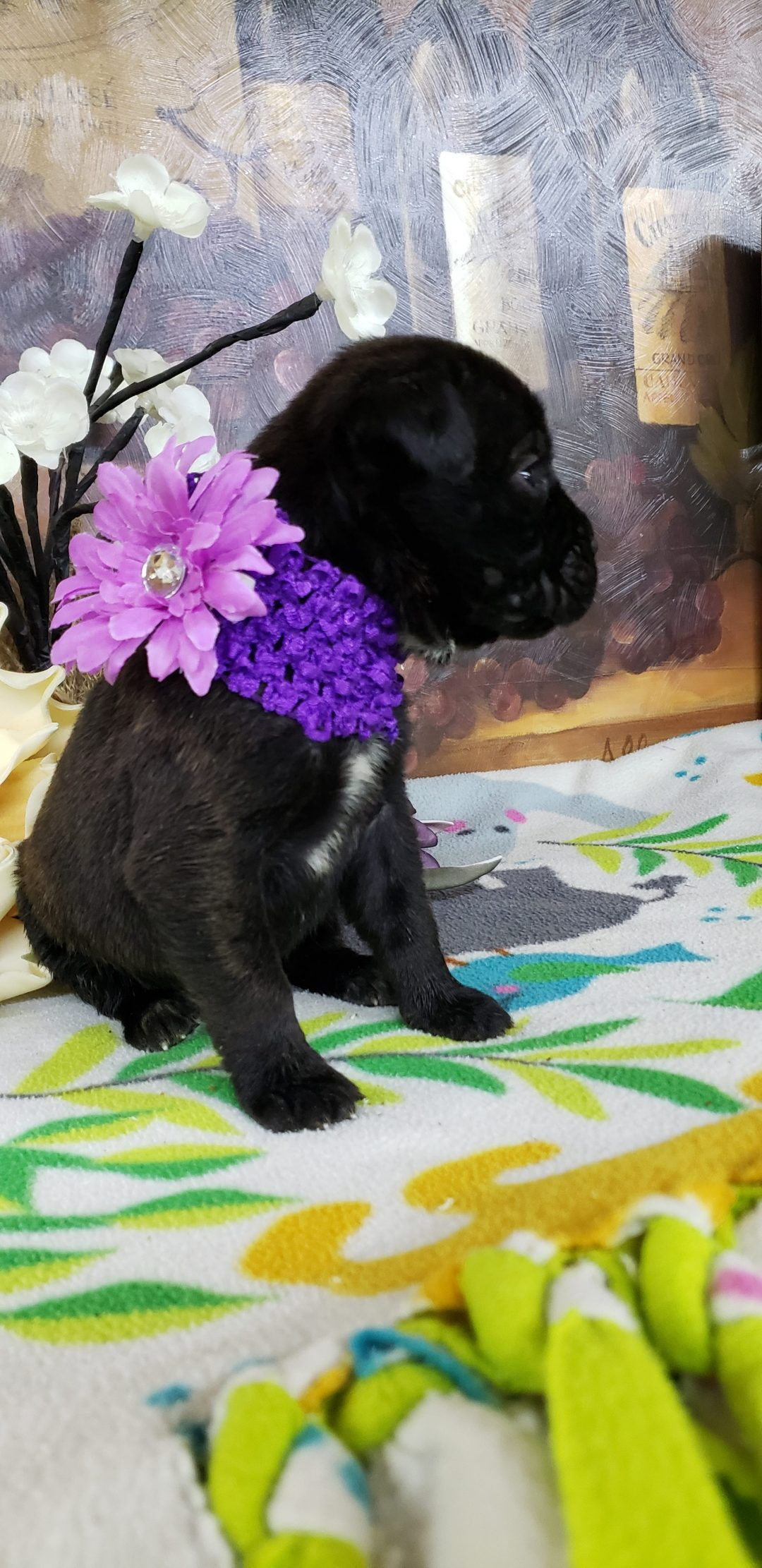 Tori - ICCF Cane Corso pup for sale in Grabill, Indiana