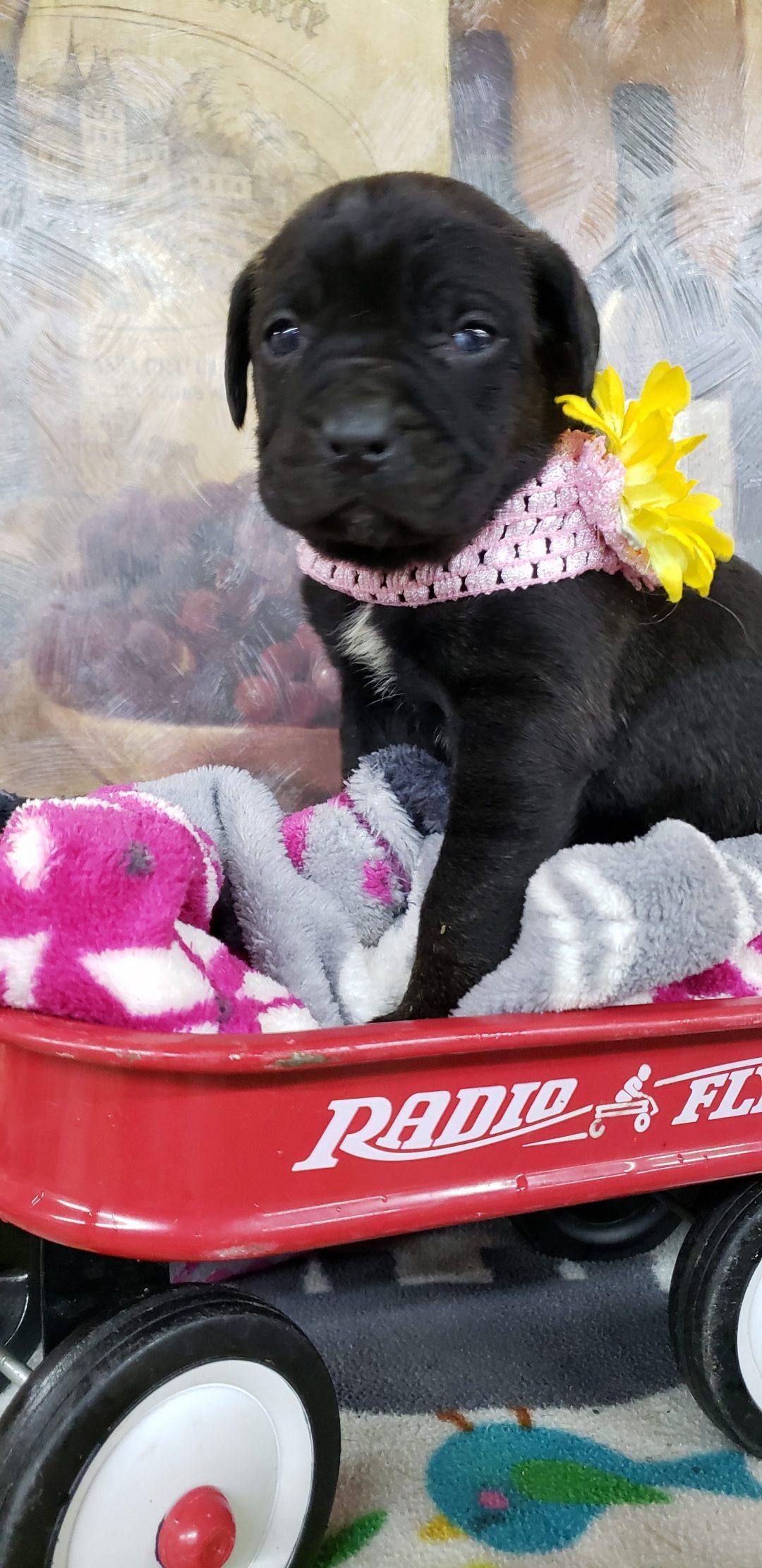 Heidi - pup ICCF Cane Corso for sale near Grabill, Indiana