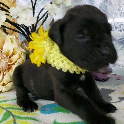 Baxter - ICCF Cane Corso puppy for sale in Grabill, Indiana