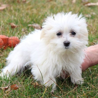 Montana - AKC Maltese pupper for sale at LaGrange, Indiana