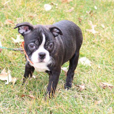 Braxton - AKC Boston Terrier puppie for sale at LaGrange, Indiana