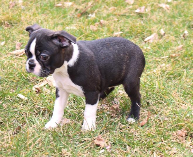 Bill - male AKC Boston Terrier pup for sale in LaGrange, Indiana