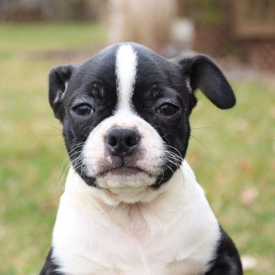 Bella - AKC Boston Terrier puppy for sale at LaGrange, Indiana