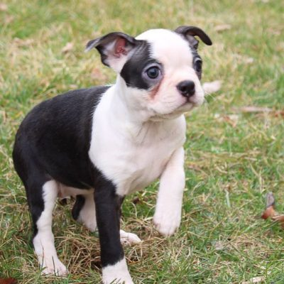 Bridget - AKC Boston Terrier doggie for sale in LaGrange, Indiana