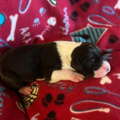Rigby - AKC Great Dane male puppie for sale near Wylie, Texas