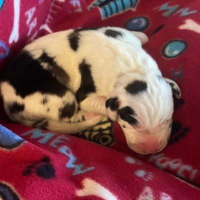 Sgt. Pepper - AKC Great Dane pup for sale near Wylie, Texas
