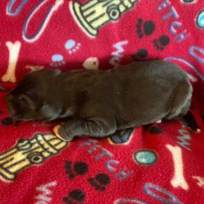 Ringo - AKC Great Dane pup for sale near Wylie, Texas