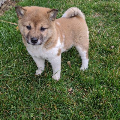 Letty - AKC Shiba Inu puppy for sale near Goshen, Indiana