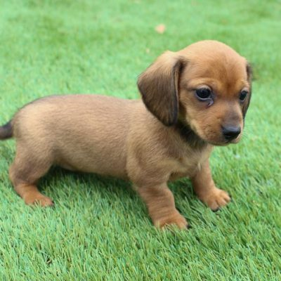 Barbie - AKC Dachshund female puppie for sale in Shipshewana, Indiana