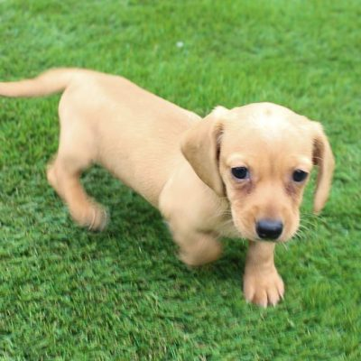 Dakota - AKC Dachshund pup for sale at Shipshewanna, Indiana