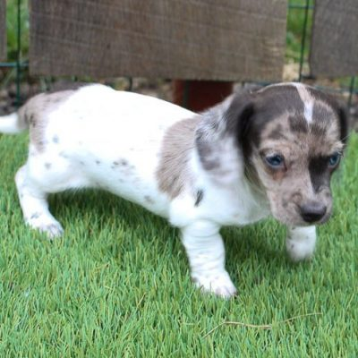 Dwight - AKC Dachshund puppie for sale at Shipshewanna, Indiana
