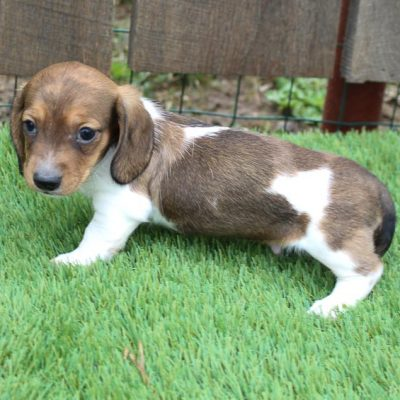 Dustin - AKC Dachshund doggie for sale in Shipshewanna, Indiana