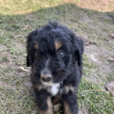 Cinnamon - Bernedoodle doggie for sale near Wright City, Missouri