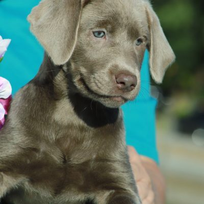 Bella - DEUKC female Labrador Retriever pupper for sale in Punta Gorda, Florida