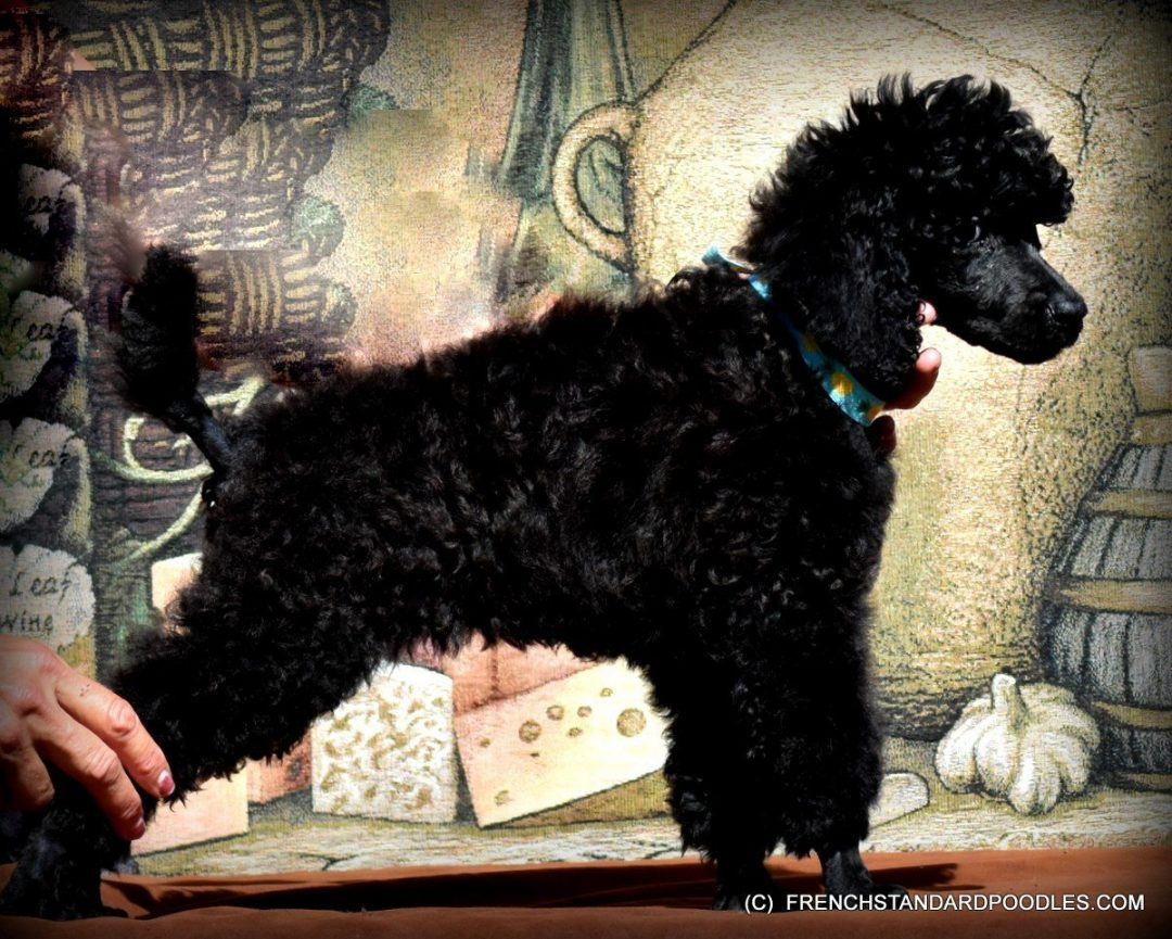 Champion Sired Black Standard Poodle for sale near Bend, Oregon
