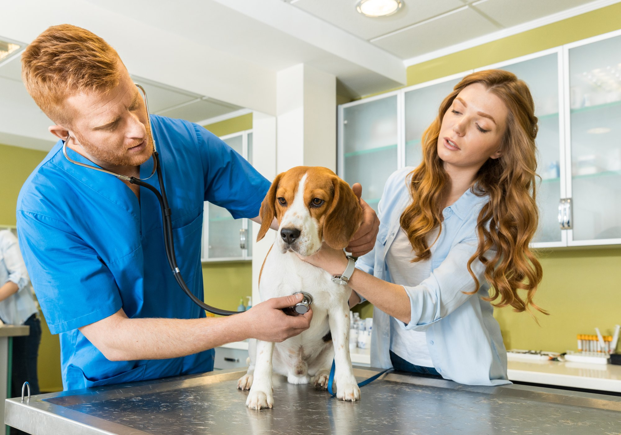 Beagle dog getting checked out by veterinarian with woman owner watching.