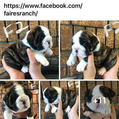 Betsey - AKC English Bulldog pup for sale in Cushing, Oklahoma