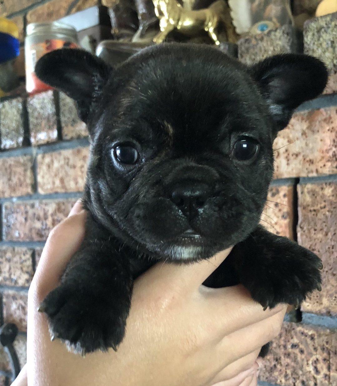 Benny - AKC French Bulldog pupper for sale near Cushing, Oklahoma