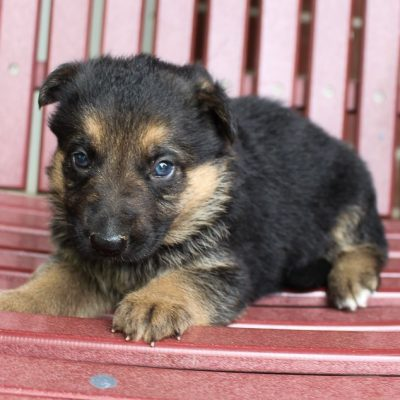 Freddie - AKC German Shepherd pupper for sale at New Haven, Indiana