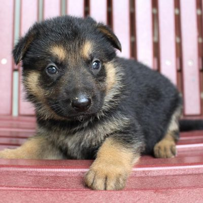 Beetles - puppy AKC German Shepherd for sale near New Haven, Indiana