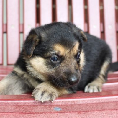 Bubba - AKC German Shepherd doggie for sale in New Haven, Indiana