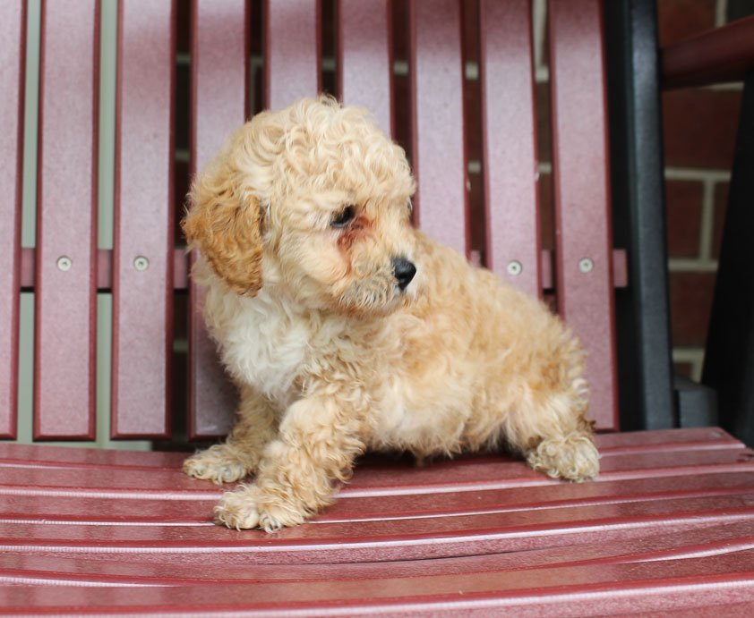 Rocky - male Toy Poodle pup for sale in New Haven, Indiana