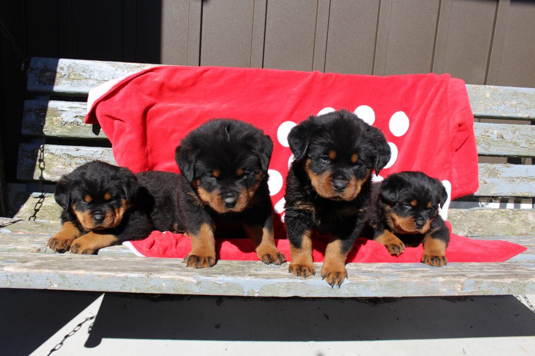 Unborn - AKC Rottweiler pupper for sale at Shipshewana, Indiana