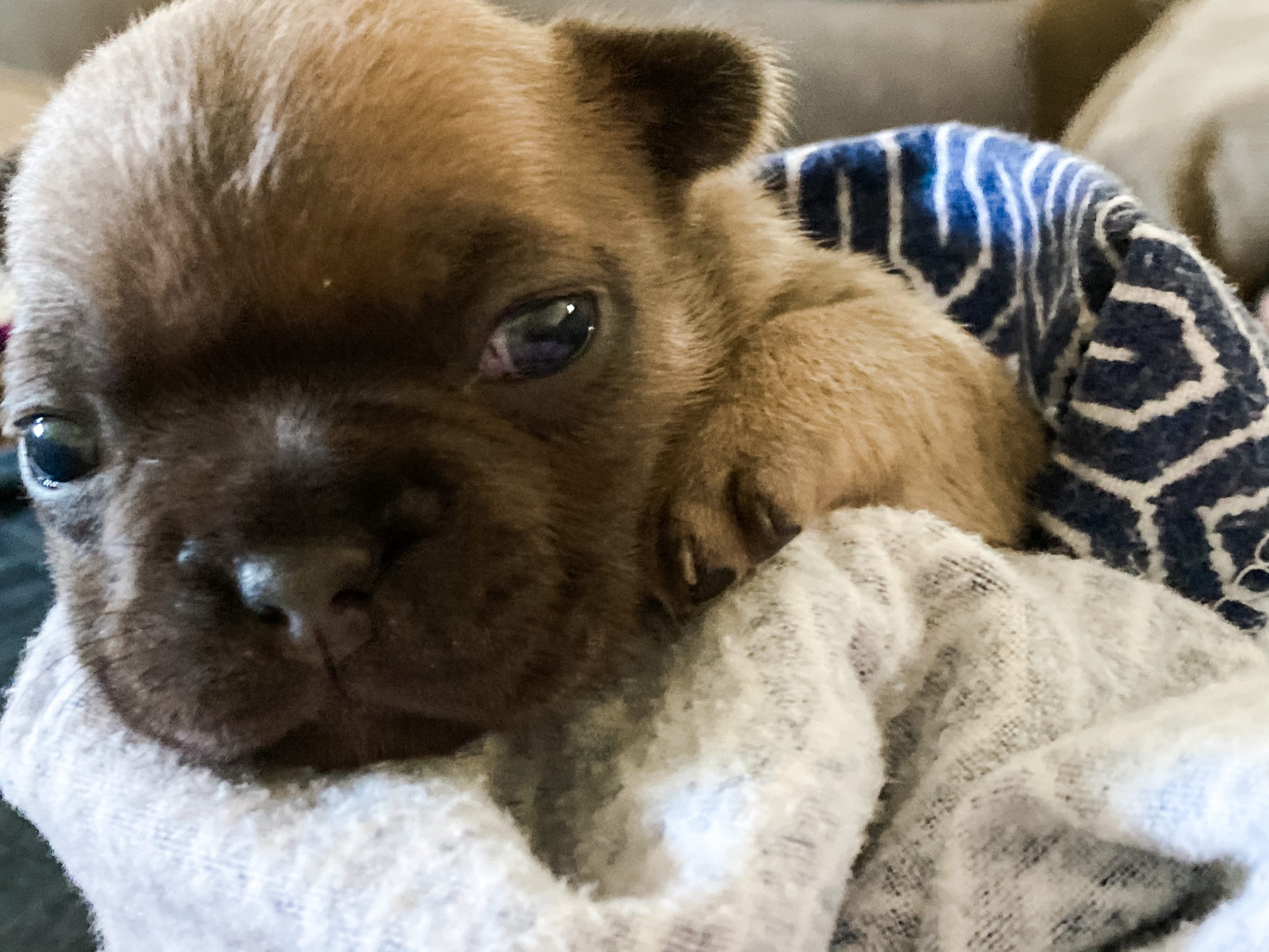 Pogues - AKC French Bulldog puppy for sale in Torrance, California
