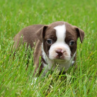 Brett - AKC Boston Terrier pupper for sale near LaGrange, Indiana