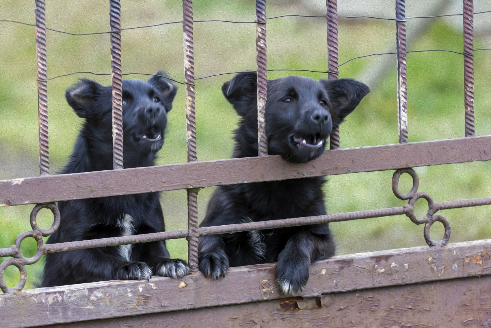 Two black young dogs barking fiercely behind bars of metal gate